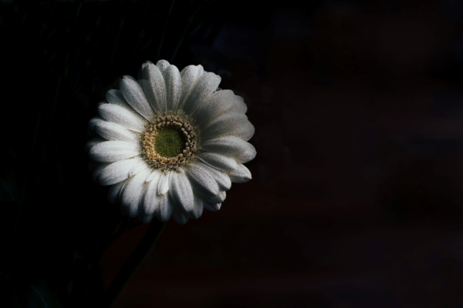 A Picture Of A Daisy